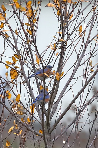 Eastern Bluebird, Multnomah Co., OR_5472(1)