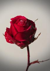 Ma petite rose d'hiver
