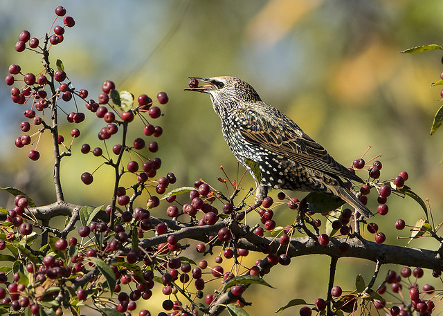 Common Starling eating Crabapples