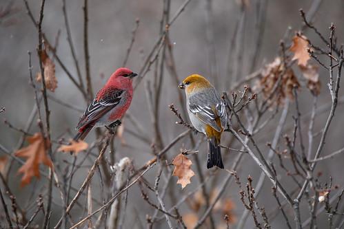 Pine Grosbeak Pair