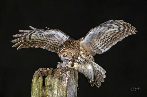 Tawny Owl perfect balance (1 of 2)