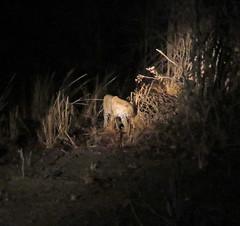 leopard; s luangwa natl prk