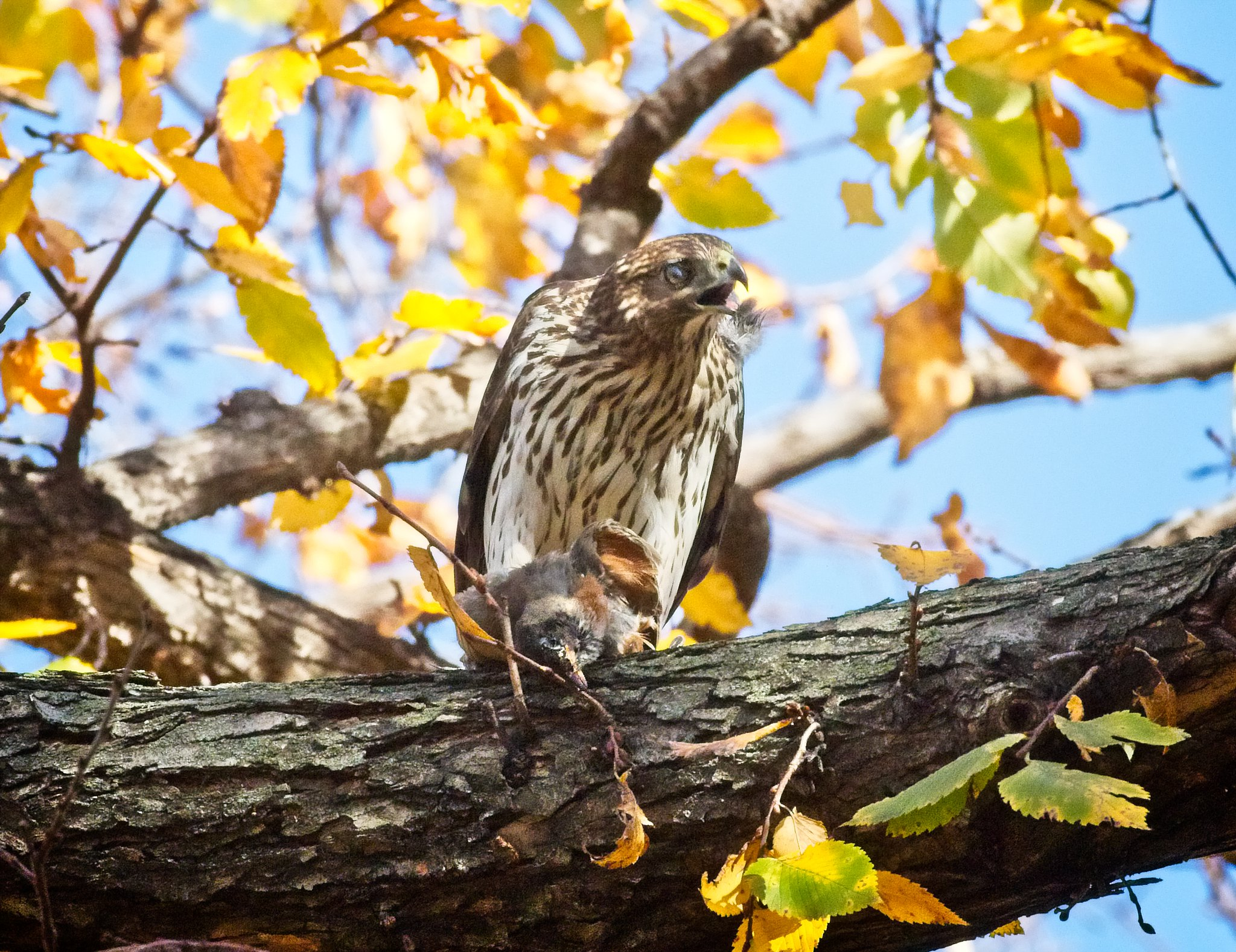 Cooper's hawk plucks a robin in Tompkins Square