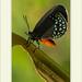 Eumaeus godartii - White-tipped Cycadian por J. Amorin