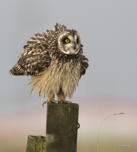 Short eared Owl_MG_5137