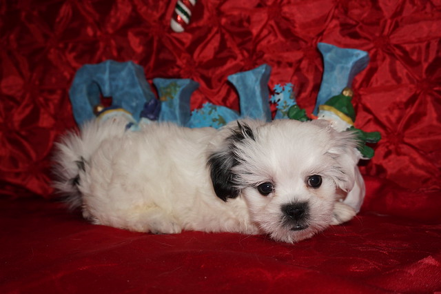 Frosty 2.3 lbs 7 wks old  (21)