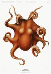 Octopus vintage poster