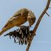 Corn bunting - Grauwe gors