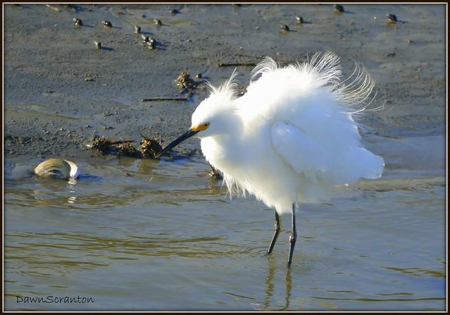 P1390803  Snowy Egret