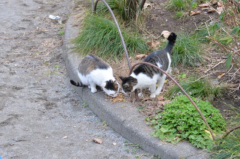 Nikon Df+AF P DX NIKKOR 70 300mm f4 5 6 3G ED VR池袋本町一丁目児童遊園の猫 キジブチ