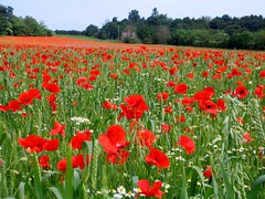 Poppy Field in Shropshire