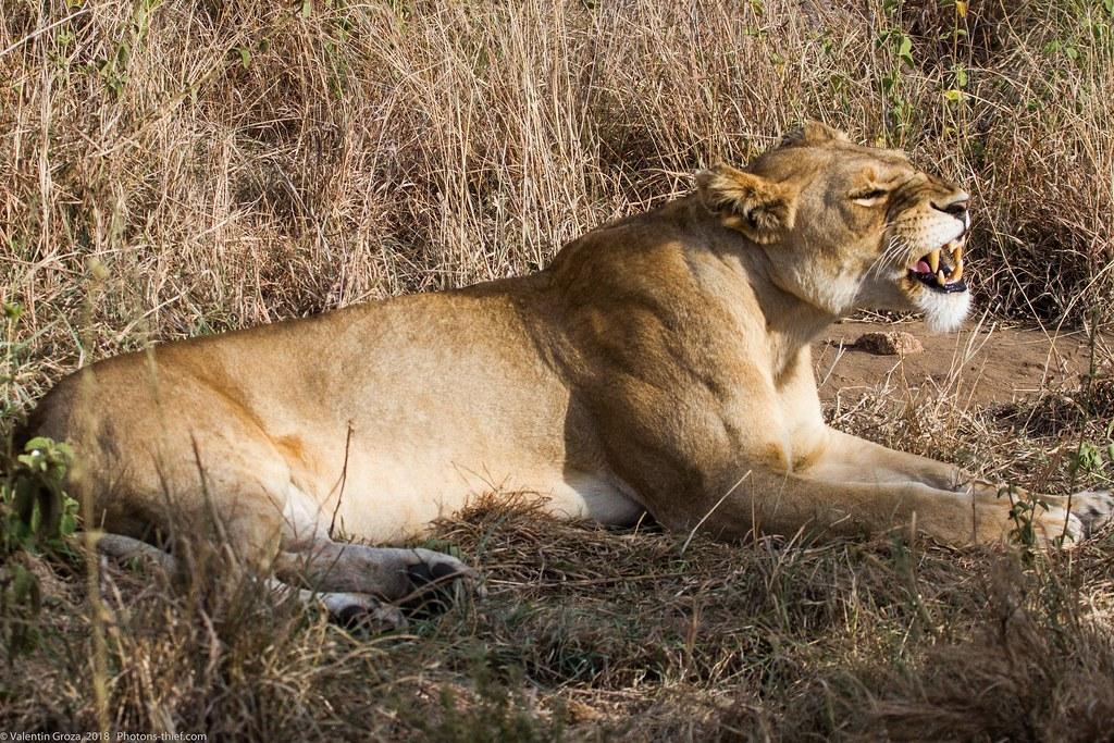Leoaica cu pui_septembrie18_Serengeti_04