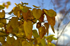 Quince Leaves in Autumn