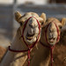 Camels by aliffc3