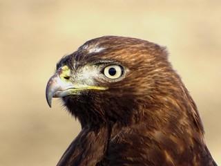 Dec9,2018 DSC01405 Dark juvenile Red-tailed Hawk