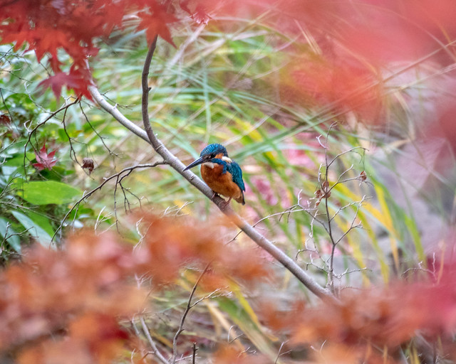 Kingfisher in autumn color