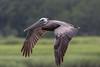Brown pelican (Pelecanus occidentalis) by Ron Winkler nature