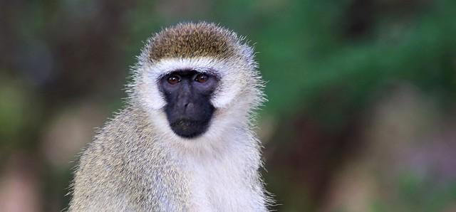 Monkey at Amboseli, Canon EOS 5D MARK III, Tamron AF 70-300mm f/4-5.6 Di LD 1:2 Macro