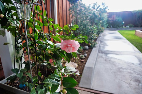 2019-02-03 - Nature Photography - Flowers - Camellia