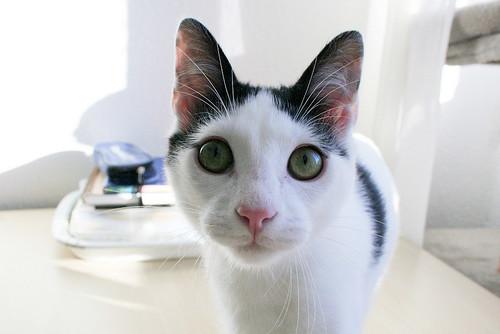 Morad, gatito blanco con toques negros muy juguetón nacido en Octubre´18, en adopción. Valencia. 46071406465_3cfed83c65