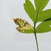 Stigmella hybnerella, Braefoot, Fife, Scotland