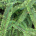 Fern leaves. Ecuador.