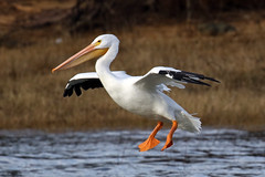 Pelican coming in for a landing....6O3A9019A