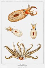 Bolitaena octopus vintage poster