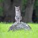 Bobcat by toryjk