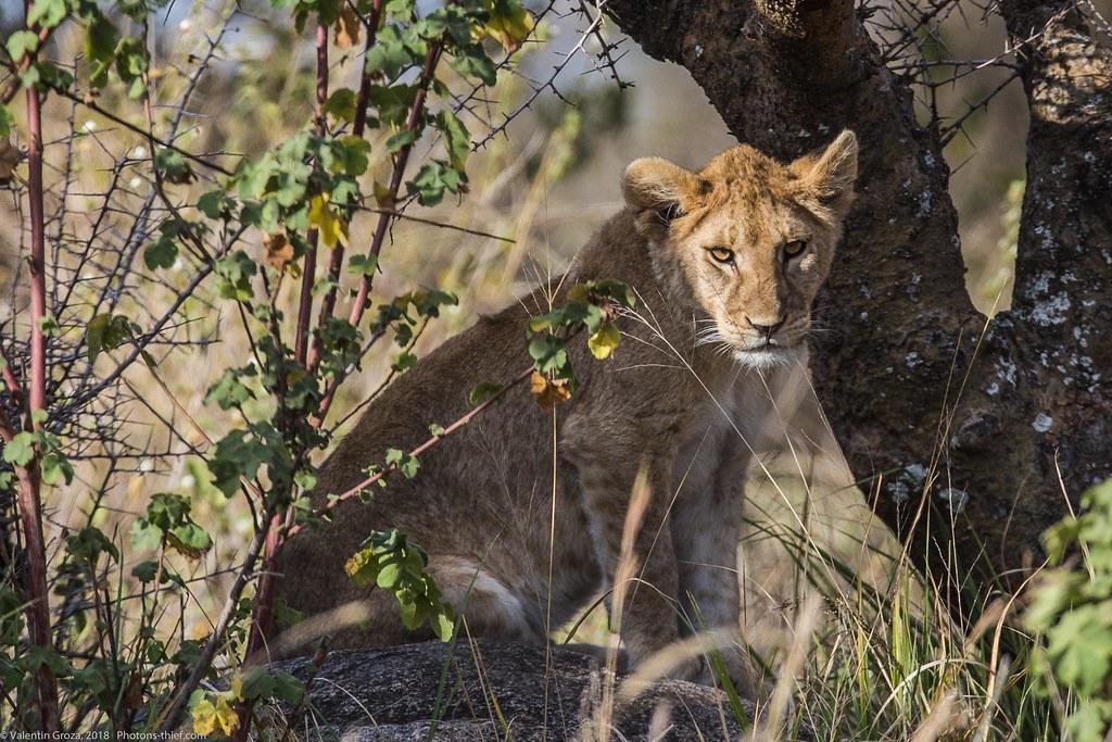 Leoaica cu pui_septembrie18_Serengeti_14