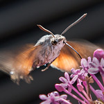 2nd PDI. League 3.. Hummingbird Moth by Richard White