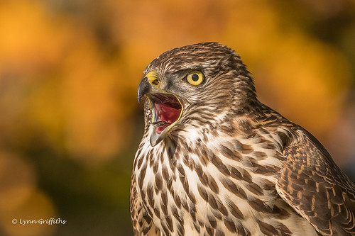 Juvenile Northern Goshawk making itself heard D85_6329.jpg