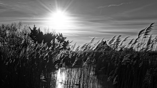 Reed And Bright Sun