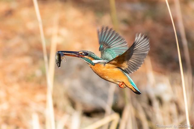 20190202-kingfisher-DSC_0810