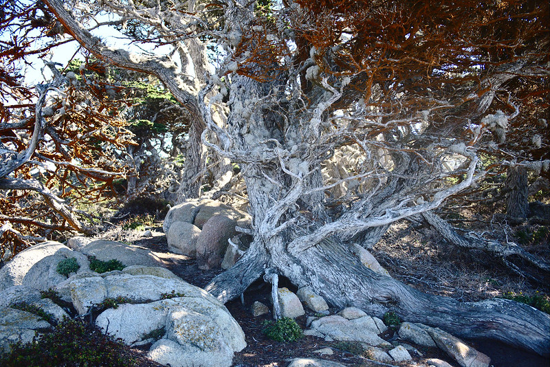 Trentepohlia, Cypress Grove trail, Point Lobos