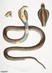 Cobra Capella (Naia tripudians from Illustrations of Indian zoology (1830-1834) by John Edward Gray (1800-1875). Original from The New York Public Library. Digitally enhanced by rawpixel.