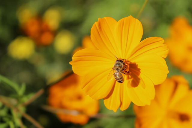 A desert pollinator, Canon EOS REBEL SL1, Canon EF-S 18-55mm f/3.5-5.6 IS STM