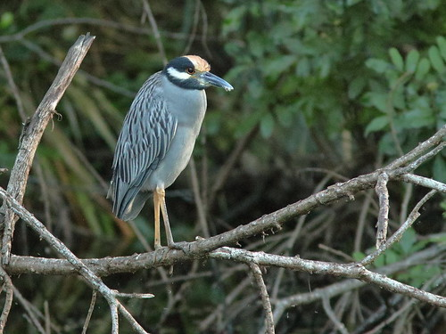 Yellow-crowned Night-Heron 20181114