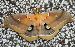 A moth with unusual markings is captured on the ground at NASA's Kennedy Space Center. Original from NASA. Digitally enhanced by rawpixel.