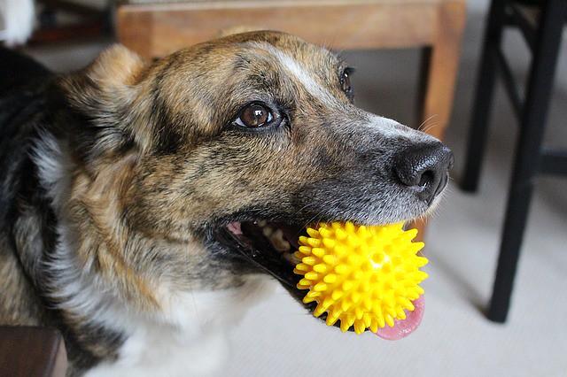 冬に室内遊びを楽しむ犬