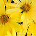 Yellow_Osteospermum_(III),_3.5.18