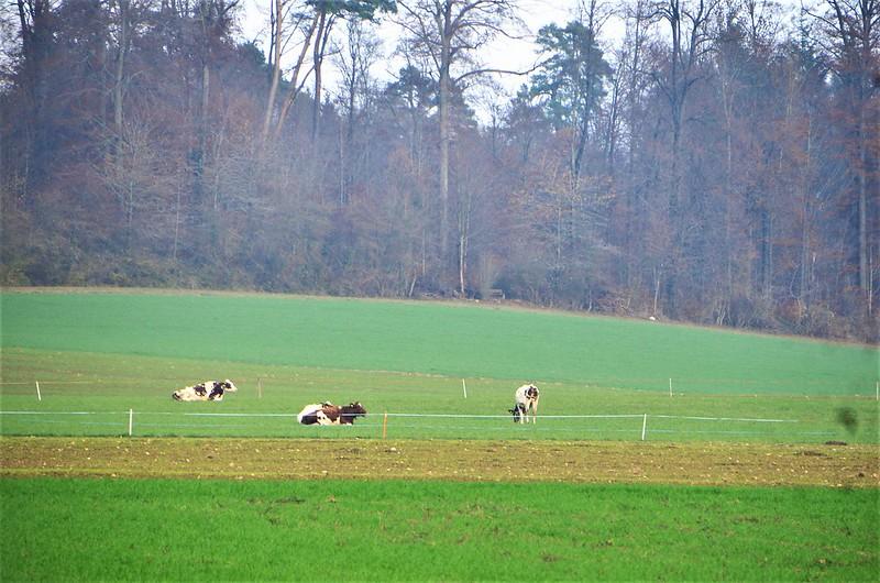 Cows 20.11 (2)