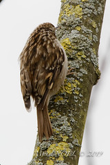 Grimpereau des jardins - Certhia brachydactyla - Short-toed Treecreeper : Michel NOËL © 2019--2.jpg
