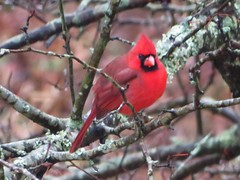 Cardinal in the trees