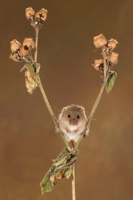 harvest mice with flash, Nikon D810, AF-S VR Micro-Nikkor 105mm f/2.8G IF-ED