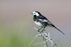 05) Micheal O Searcoid-Wagtail