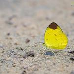Chocolate Grass Yellow