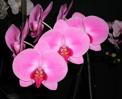 Phalaenopsis amabilis pink blooms