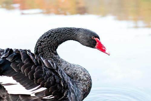 water autumn travel bird poltava ukraine swan nature
