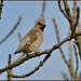 Waxwing (image 3 of 3) by Full Moon Images